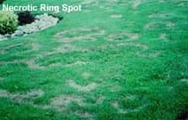 Necrotic Ring Spot
